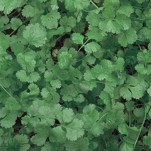 Coriandrum sativum 'Slo-Bolt', Slo-Bolt Cilantro (4 pack)