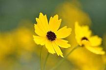 Coreopsis palustris.jpg