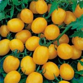 Lycopersicon lycopersicum 'Sun Sugar', Sun Sugar Cherry Tomato