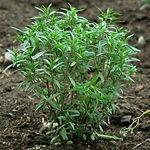 Satureja hortensis, Summer savory.jpg