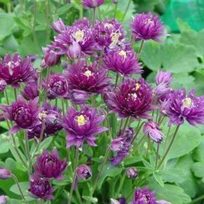 Aquilegia vulgaris, European Columbine