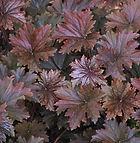 Heuchera villosa f. purpurea.jpg