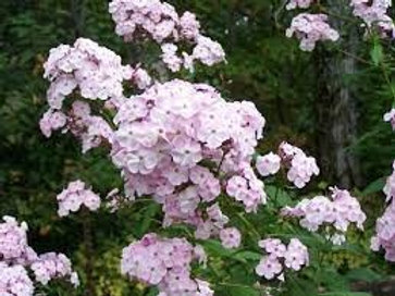 Phlox paniculata, Summer Phlox - Pale Pink