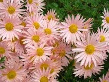 Chrysanthemum 'Hillside Pink Sheffield' , Hillside Pink Sheffield Chrysanthemum