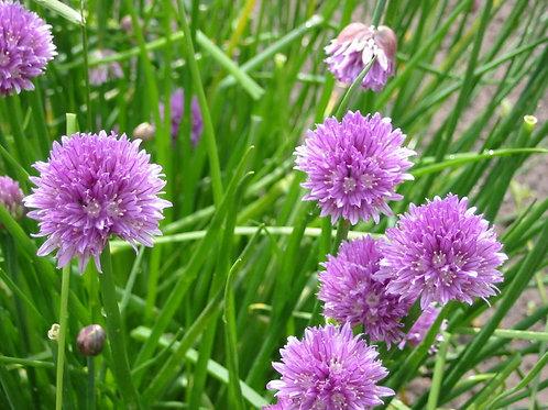 Allium schoenoprasum, Chives