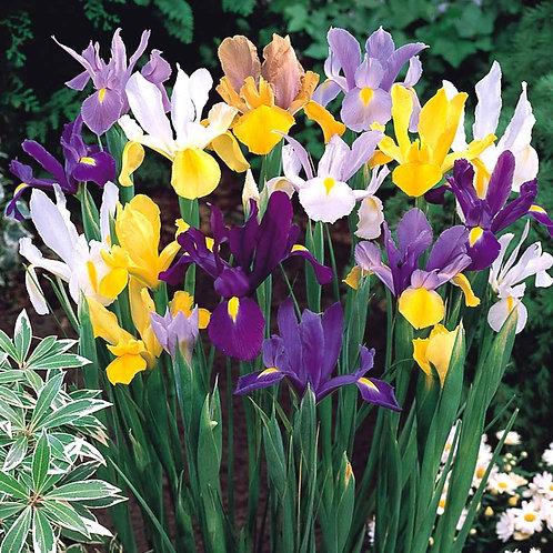 Iris x hollandica, Dutch Iris