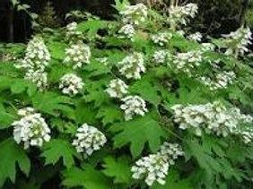 Hydrangea quercifolia, Oakleaf Hydrangea (smaller plant)