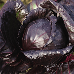 Brassica oleracea, Cabbage red acre.png