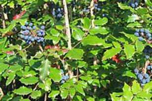 Mahonia aquifolium, Oregon Grape Holly