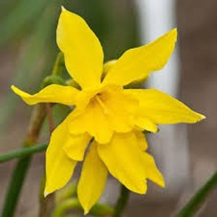 Narcissus x odorus 'Campernelle', Campernelle Daffodil (Approx. 5 bulbs per bag)