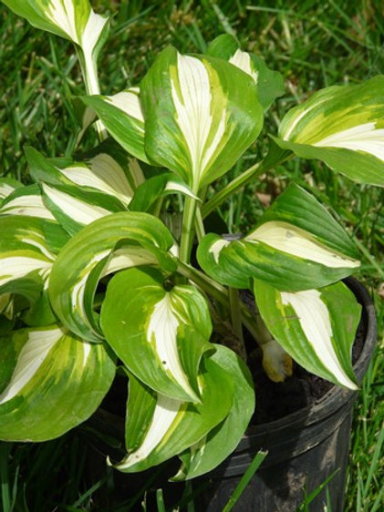 Hosta, White Middle 2-tone green edges