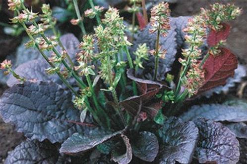 Salvia lyrata 'Purple Knockout', Purple Knockout Lyreleaf Sage