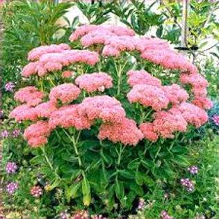 Hylotelephium telephium 'Autumn Joy', Autumn Joy Stonecrop