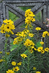 Coreopsis angustifolia, Narrow-leaf sunf
