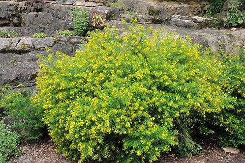 Hypericum densiflorum, Bushy St. John's Wort