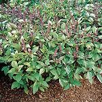 Ocimum basilicum, Cinnamon basil.jpg