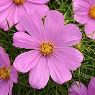 """Cosmos bipinnatus 'Sonata', Sonata Pink Cosmos  (4"""" sq pot)"""
