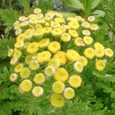 Tanacetum vulgare v. crispum, Curly Tansy