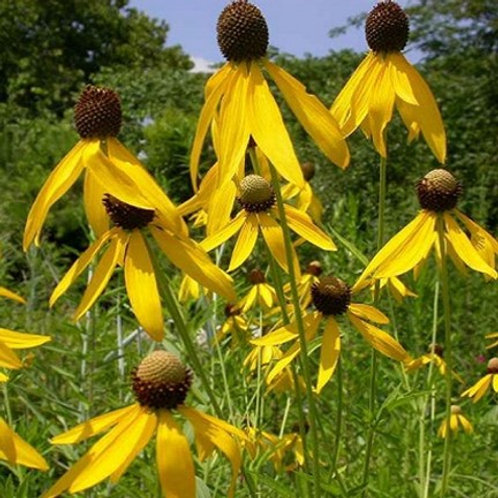 Ratibida pinnata, Prairie Coneflower