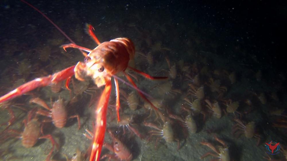 red pelagic crab