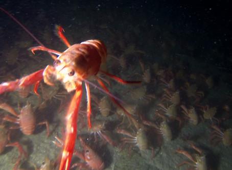 Tuna Crab Invasion!