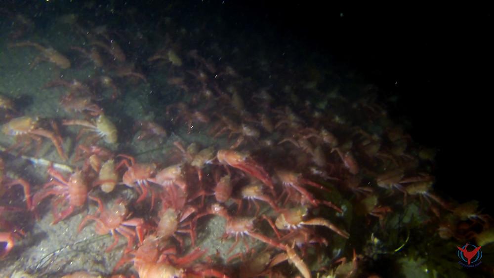 tuna crab la jolla shores red pelagic crab