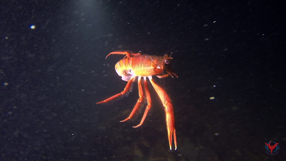 crustacean underwater animal