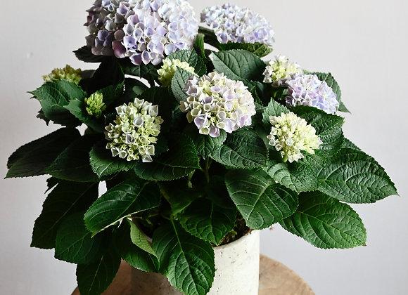 Ortensia Magical in vaso