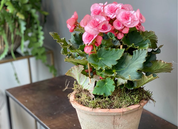 Begonia in vaso di cotto