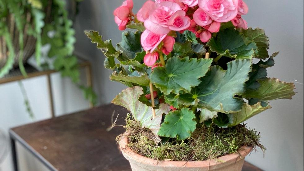 Begonia in vaso di cotto