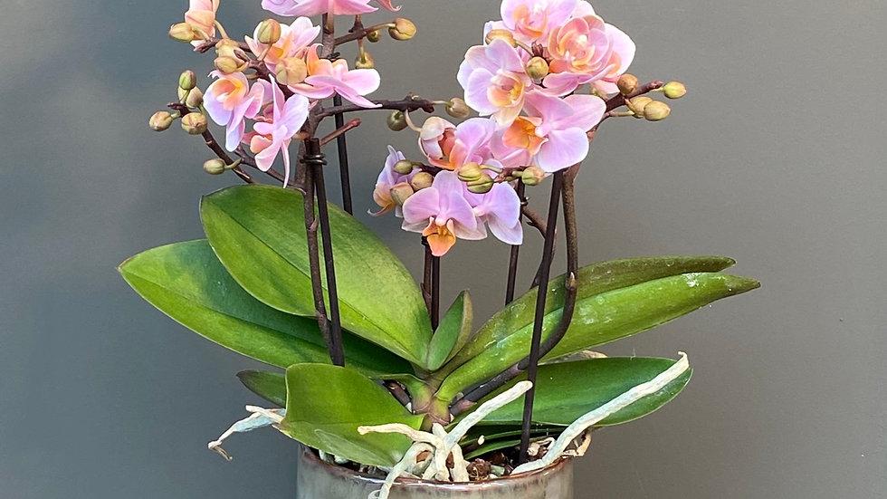 Orchidea multiflora in vaso