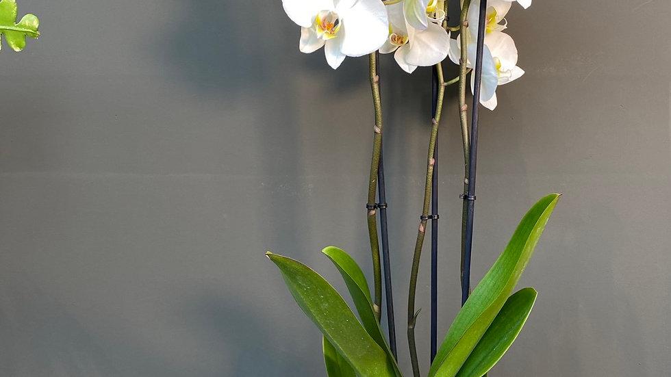 Orchidea alta tre steli in vaso