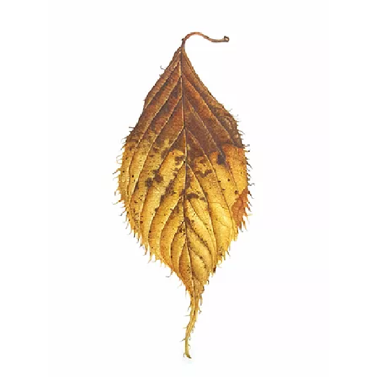 Cherry 'Chocolate ice' Leaf