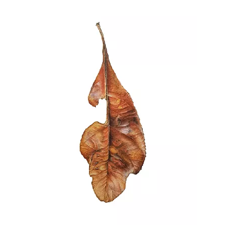 Red Robin autumn leaf