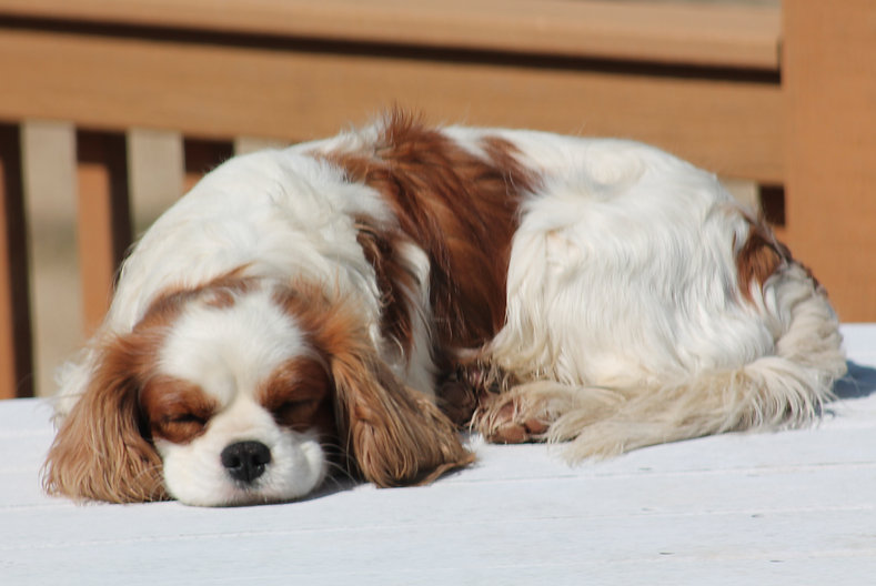 Riley- Cavalier King Charles Spaniel