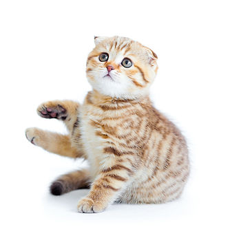 Kitten Scottish Fold