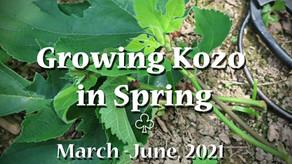 Kozo Field in Spring