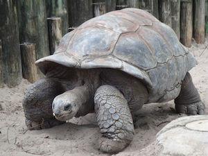 Aldabra giant tortoise (Wikipedia)