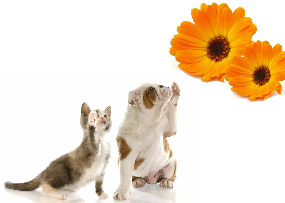 calendula-rimedio-per-animali