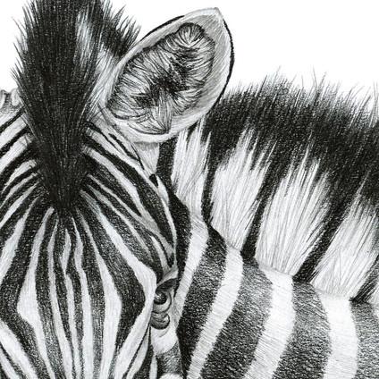 Zebra - 9 x 12 +0.5.jpg