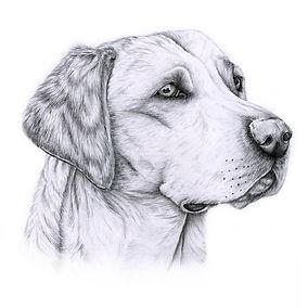 Labrador sketch.jpg