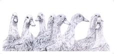 Ducks On Parade - 4.5 x 10 +0.25.jpg