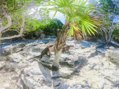 north exuma iguanas.jpg