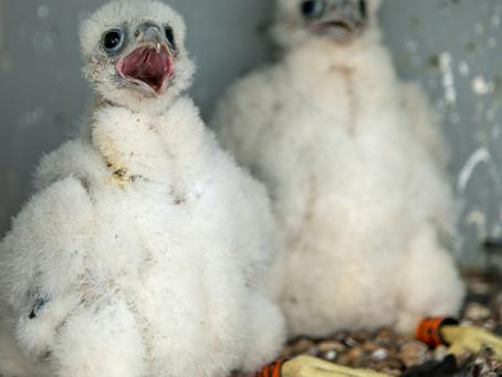 Ringing the Cromer Peregrine chicks