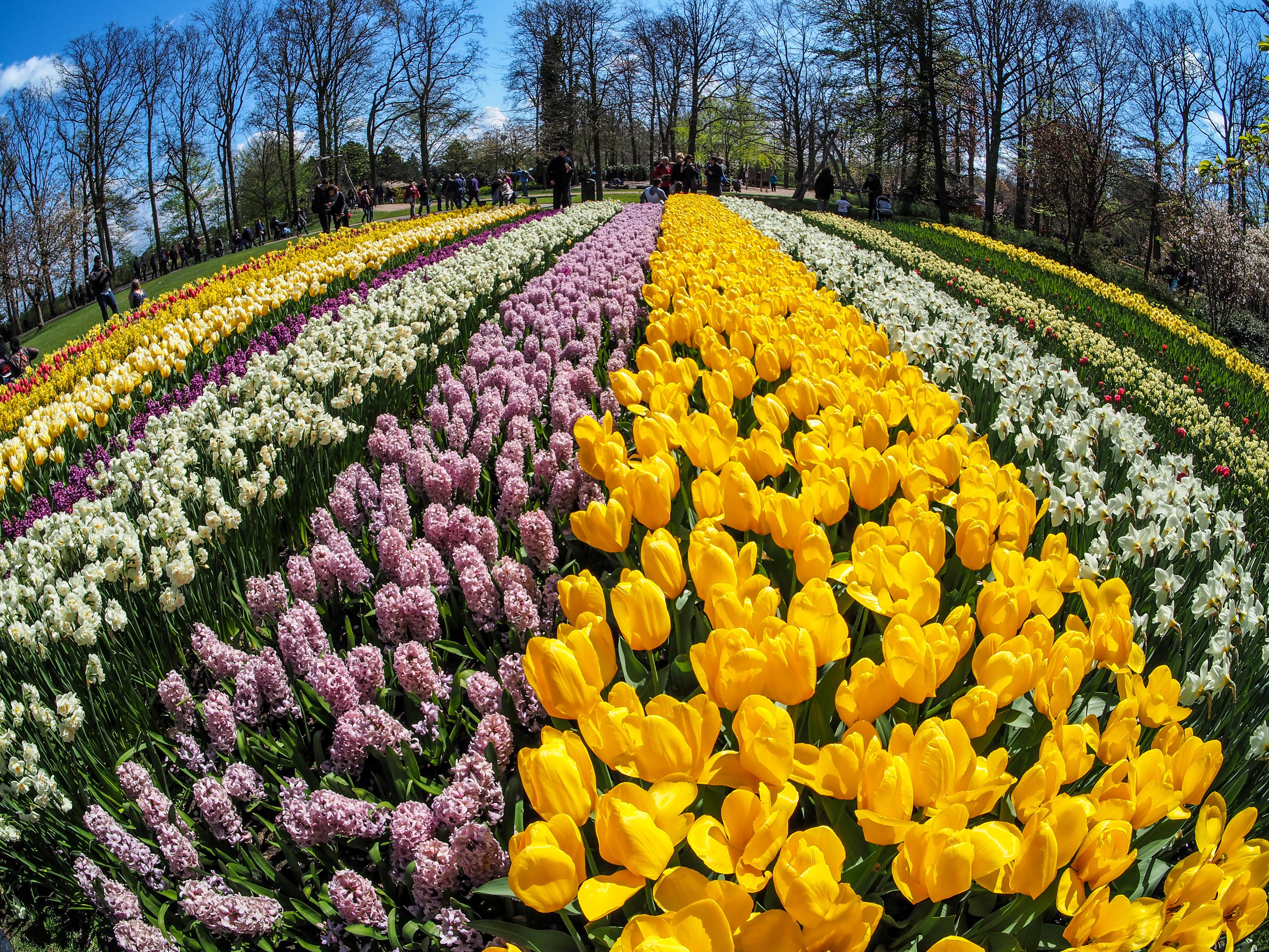 Tulip Field Mini S