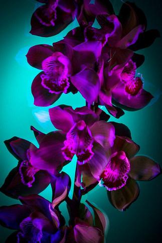 Filippo Zaghini, Orchidacea