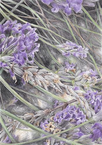 Lavender_Druck.tif