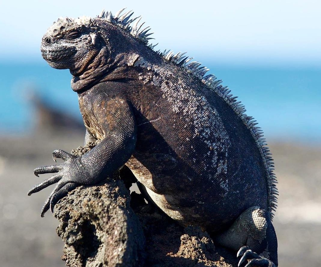 Galapagos-Iguana-travel