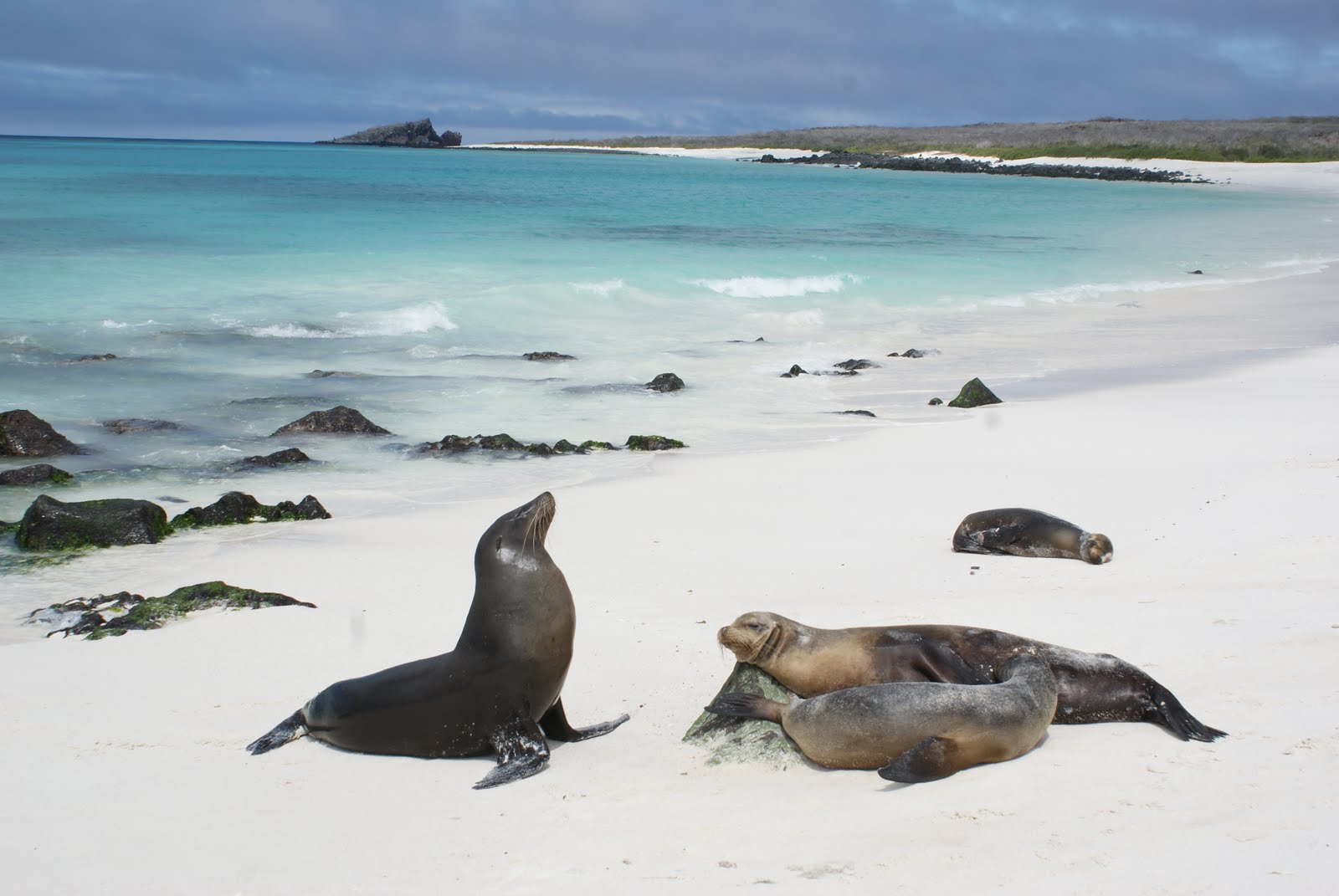 Galapagos-Sealion-animal