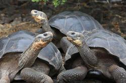 Tortugas-gigantes-Galápagos